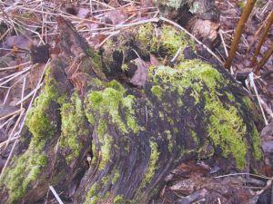 Moss at Fernwood