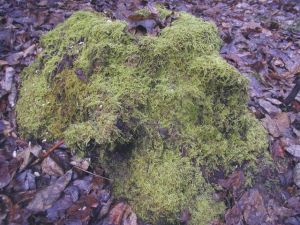 Moss at Fernwood