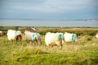 Sheep in County Kerry