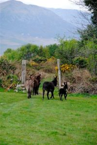 Donkeys in County Kerry