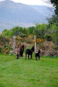 Donkeys in County Kerry