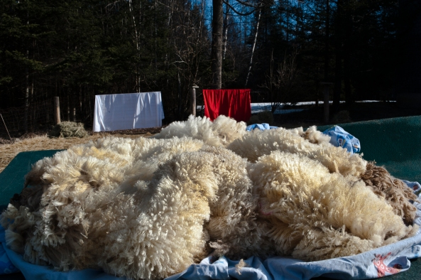 Sheep Shearing 0234 EDIT