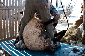 Sheep Shearing 0249 EDIT