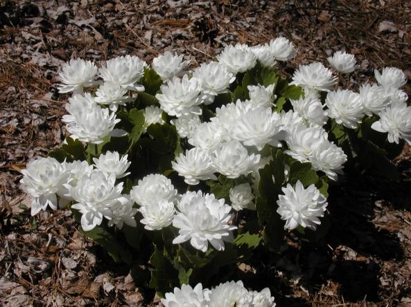 Sanguinaria canadensis f. 'Multiplex'