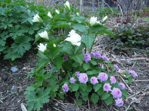 "Trillium grandiflorum flore pleno, growing with Anemonella thalictroides ""Schoaf's Double Pink"""