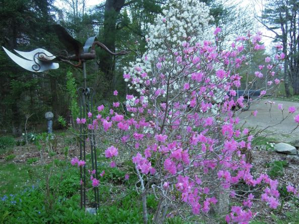 "Rhododendron dauricum ""Candy Pin"" and Magnolia stellata"