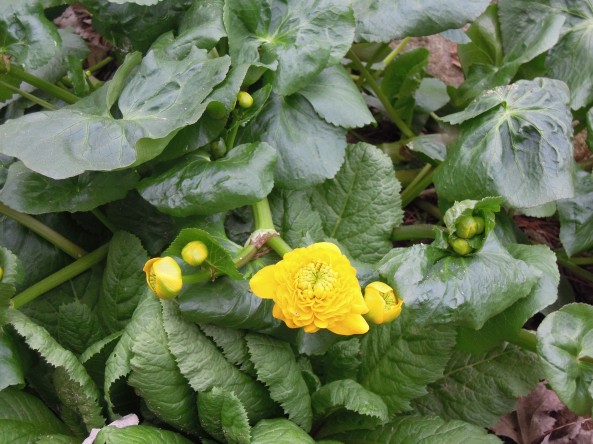 Caltha palustris 'Flore Pleno'  Marsh Marigold