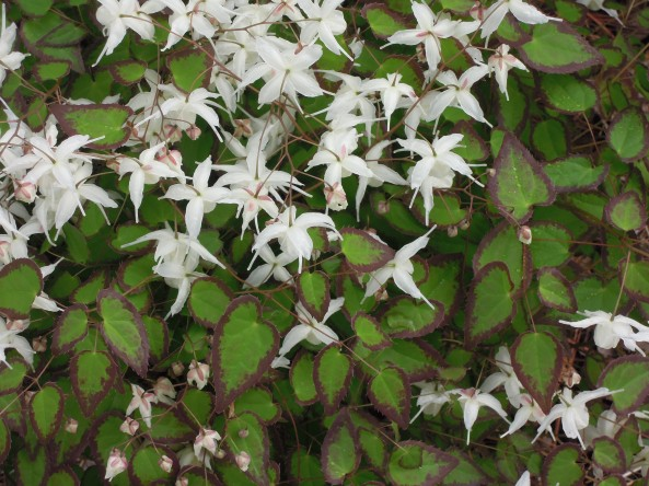 Epimedium 'Orion' seedling