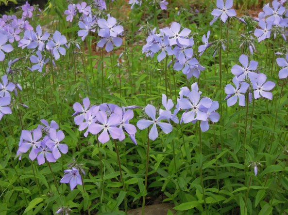 Phlox stolonifera 'Blue Ridge'