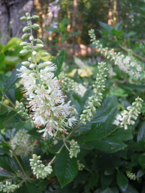 Clethra alnifolia 'Compacta'