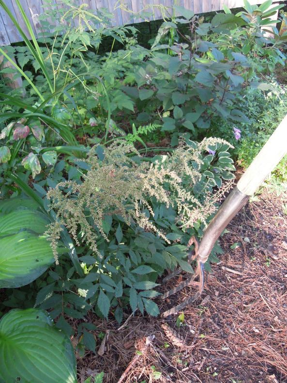 transplanting an Astilbe to a new garden spot