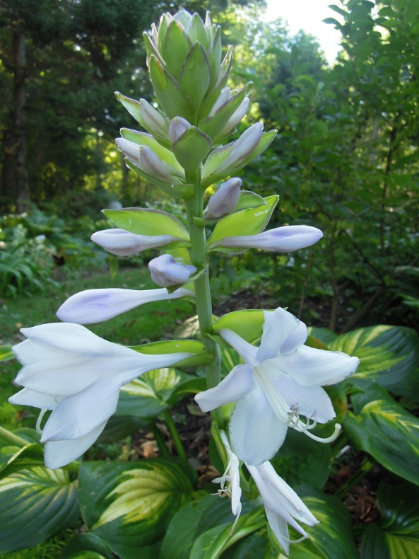 Hosta ' Cathedral Windows'