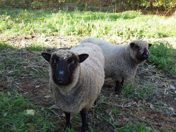 Come meet Wallace, Fiona, and Penelope , our winter Southdown  residents