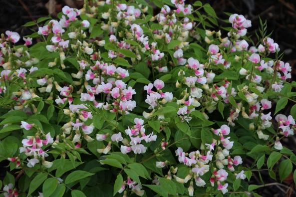 Lathyrus albo rosea