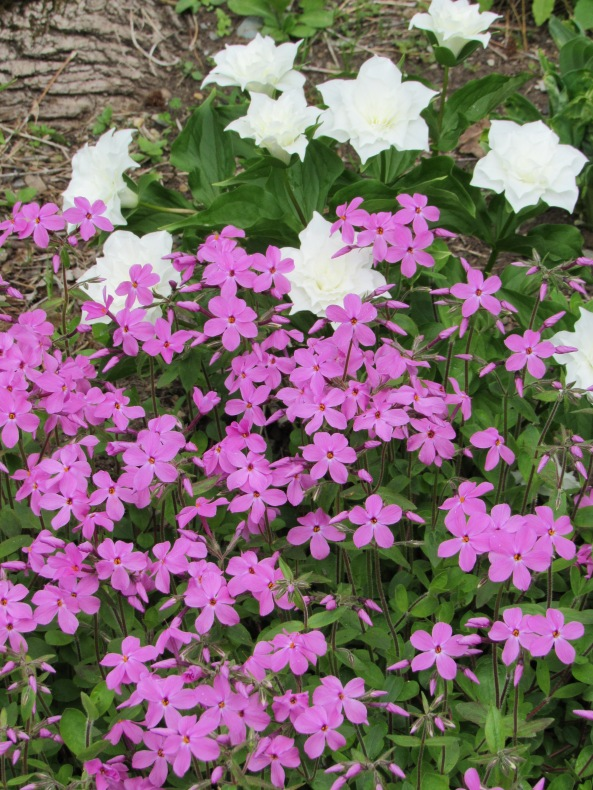 Phlox stolonifera 'Home Fires'  along with Double trillium