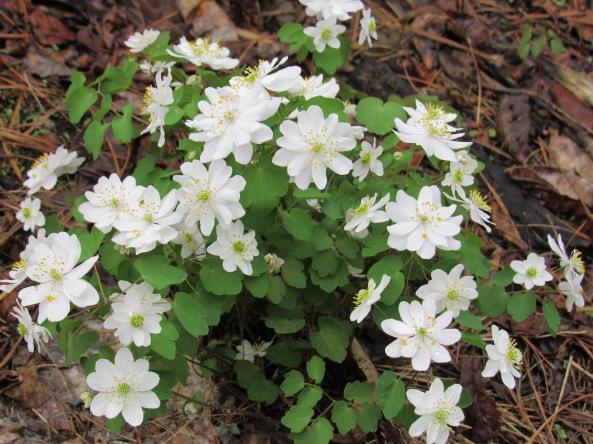 Anemonella thalictroides ( Fernwood seedling)