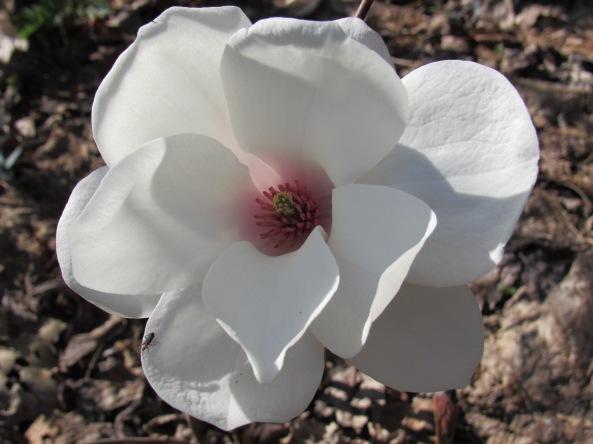 Magnolia  seedling