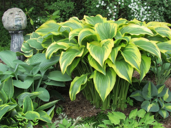 Hosta ' Aureomaginata'
