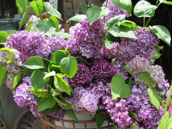a delicious bouquet of lilacs from our friend George Holmes