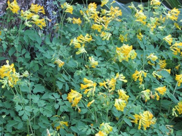 Corydalis lutea