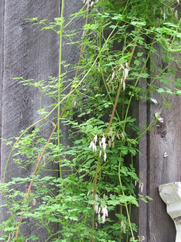 Adlumia fungosa