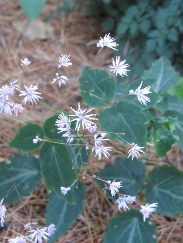 Thalictrum  coreanum
