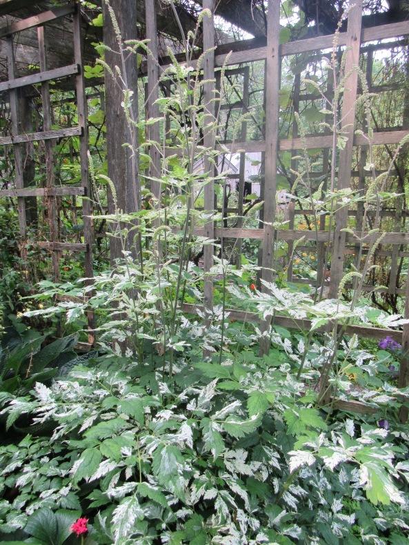 Cimicifuga simplex variegata