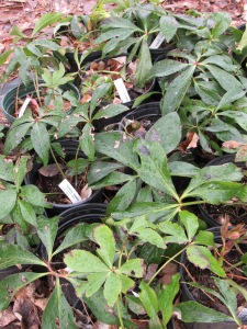 Hellebore plants ready to be cleaned  and trimmed