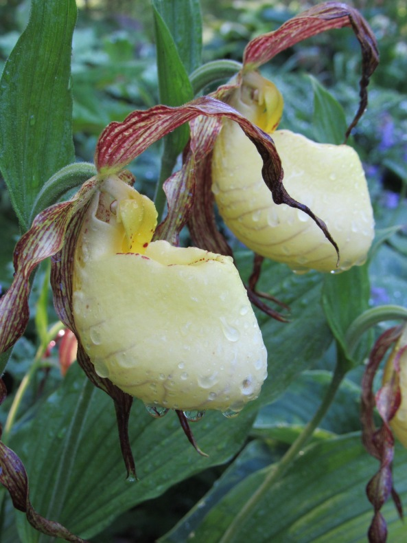 Cypripedium kentuckiensis