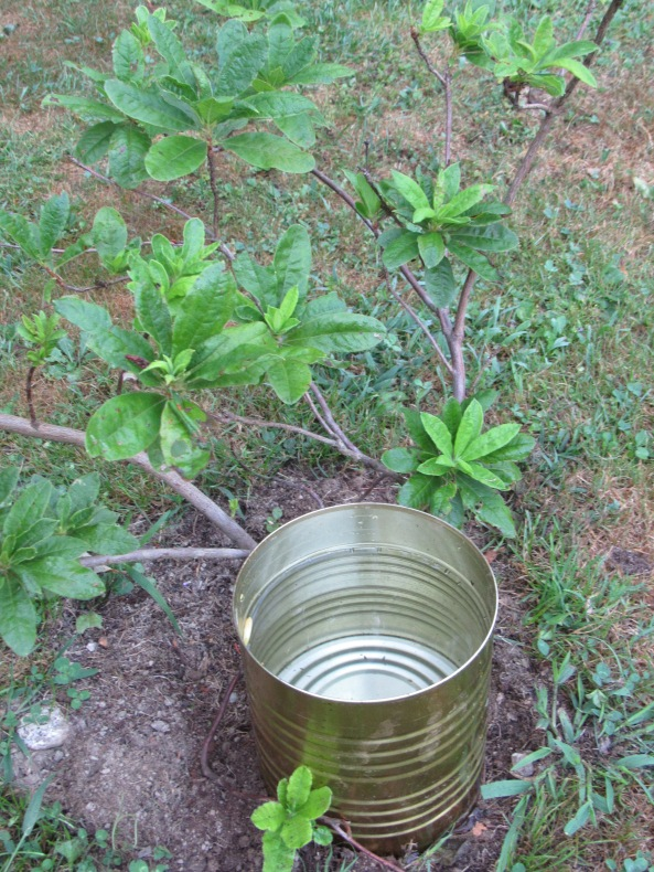 Providing a drink to a recently planted Azalea