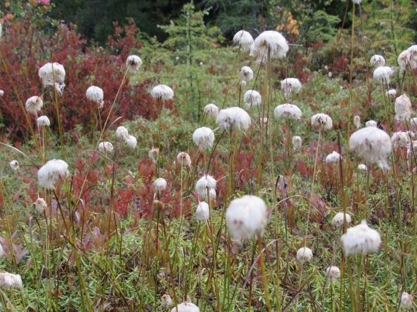 Tawny Cotton Grass Eriophorum virginicum