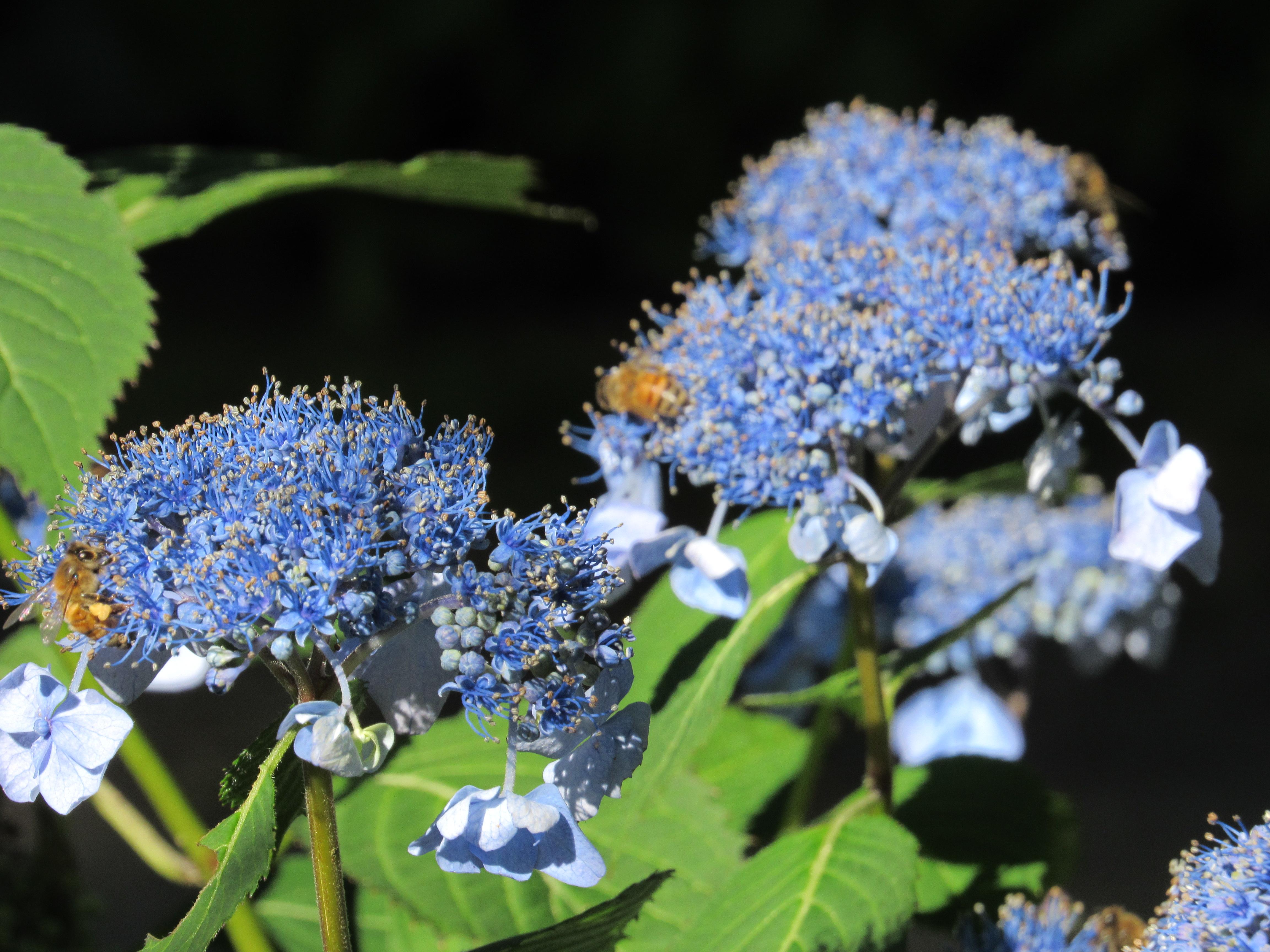 Blue Days Fernwood Nursery Gardens